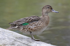 Study of a Green-winged Teal (danielusescanon) Tags: animal wild duck hen greenwingedteal anascrecca anseriformes anatidae birdperfect standing