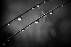 stay (joy.jordan) Tags: raindrops light shadow bokeh nature blackandwhite hmbt