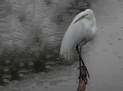 Rainy Day (SDRPhoto321 Back from the field) Tags: art animal botanical bird birding birds black bill canon color dof depthoffield dark eos expression eye elevated eyes exposure egret florida feathers fest great green haven heron inspiring inspire light lands mighty new nature national neck outdoor outside perspective reflection sunny tree rainy