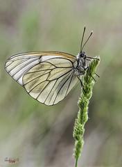 Transparencias (gatomotero) Tags: omdem1 mzuiko60 butterfly mariposa zamora aporia manchas nature macrofield primavera mayo aliste rabanales