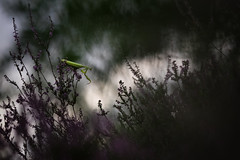 # The Hunter # (Thomas Vanderheyden) Tags: bokeh colors couleur fauna faune france fujifilm insect insecte macro mantereligieuse mantisreligiosa nature picardie proxi samyang135mm thomasvanderheyden xt1