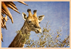 Sunday Lunch (Daniela 59) Tags: sliderssunday 7dwf 7dayswithflickr sundaythemefauna giraffe animal wildanimal nature plant daanviljoengamepark namibia hss danielaruppel