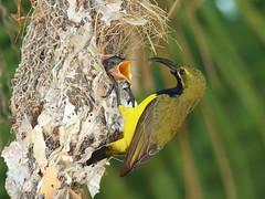 Olive-backed Sunbird male (Graham Winterflood) Tags: bird olivebackedsunbird nectariniajugularis canoneos7d geo:country=australia taxonomy:binomial=nectariniajugularis