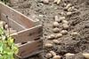 CKuchem-5964 (christine_kuchem) Tags: bauerngarten beet biogarten erde ernte erntekiste erntezeit feld frühkartoffel garten gartenerde gemüse gemüsebeet gemüsegarten glorietta grabgabel herbst holz holzkiste kartoffel kartoffelbeet kartoffelfeld kartoffelkiste kiste naturgarten nutzgarten pflanze privatgarten rarität sorte sortenvielfalt vielfalt alt bio biologisch frisch früh gesund naturnah natürlich reif