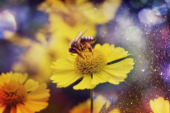 Bee at work (C-Smooth) Tags: bee work flowers yellow glitter macro nature bokeh closeup colours stefanocabello
