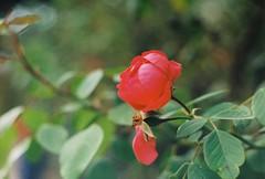 Rose (Chimpules) Tags: rose red praktica tl1000 kodak colorplus 200 m42 analogue film flower nature