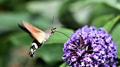 Humming-Bird Pretender. (pstone646) Tags: hummingbirdhawkmoth moth insect animal nature wildlife flora fauna closeup bokeh flower budlia flight flying kent