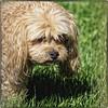 _8220006 - Stewie (geelog) Tags: alberta calgary dog home pet ab canada