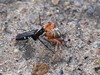 Episyron  Wasp with Orb Spider (Shelley Penner) Tags: insects saskachewan battle wasp ichneumon episyron spider orb predation parasitic