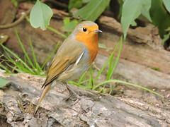 Robin (Deanne Wildsmith) Tags: earthnaturelife wolseleynaturecentre robin staffordshire