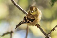 Female Gold Finch (jvalentine300) Tags: goldfinch