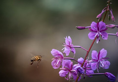 29/52: Landing gear down (judi may) Tags: project52 blur bokeh dof depthoffield flowers flower bee pink pinkflower wings buzz nottingham canon7d nature