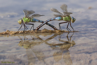 Anax imperator. Doble puesta y sorpresa. Double standby and surprise.