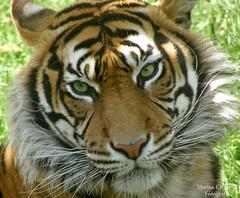 Tigre-de-Sumatra (Marina CRibeiro) Tags: portugal lisboa lisbon tigre tiger felino feline animal bigcat