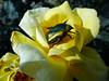 DSC02643 (omirou56) Tags: 43ratio sonydschx9v flower yellowrose peloponnisos pteri fteri achaia greece αχαια πελοποννησοσ πτερη φτερη ελλαδα κιτρινο τριανταφυλλο λουλουδι φυση nature natur natura outdoor garden κηποσ wow