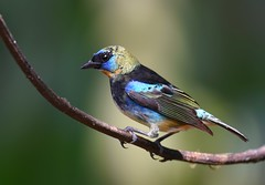 Golden-hooded Tanager (anacm.silva) Tags: goldenhoodedtanager tanager ave bird wild wildlife nature natureza naturaleza birds aves bocatapada costarica tangaralarvata