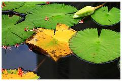 飄零的落花    Falling flowers (C. Alice) Tags: 2017 hongkong summer water green canon canoneos7d eos7d bokeh nature canonef70200mmf4lisusm yellow plant leaves waterlily flower favorites50