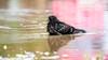 RP8_8437 (riflylv) Tags: pidgeon bath water swimm cleaning tc2
