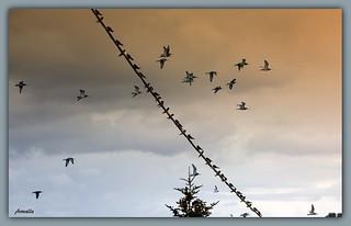 Migration birds