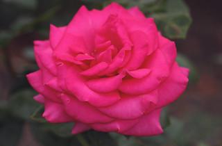 Perfect garden rose