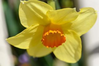 Springtime - Daffodil