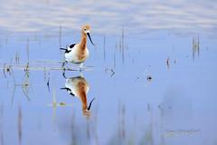 2011-06-05_400 DLS_R_edited-1.jpg (Dan Streiffert) Tags: americanavocet avocetsandstilts birds kent washington unitedstates us