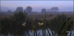 There's A  Beauty In Everything. (Picture post.) Tags: mist sunrise morning meadowsweet water reeds clouds trees fields reflection paysage landscape nature green