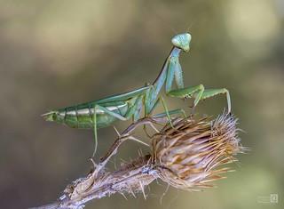 Mantis y cardo