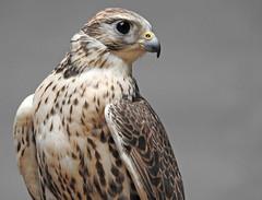 Falcão-sacre (Falco cherrug) (Marina CRibeiro) Tags: portugal mafra bird ave rapina rapace falcão falcon