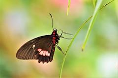 Heliconius Himera (Pomerol) Tags: ngc animal nature papillon jaune orange macro da 300mm eye vert pentax k3 beaute beauté beauty butterfly couleur insecte wildlife color bordeaux green bokeh life