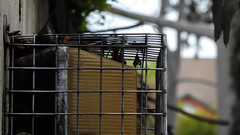 Caged Lighting (Theen ...) Tags: across adelaide aged australianmineralfoundation bokeh cage conynghamstreet fitting front glenside gum house light lumix metal plastic steps street theen tree