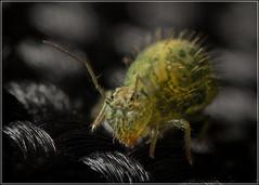 Sminthurus viridis (Ed Phillips 01) Tags: sminthurus viridis lucerne flea springtail collembola mpe staffordshire macro zerene stacker focus stack