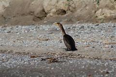 aIMG_9866 (hottmoose) Tags: darlingtonprovincialpark ontario birds wildlife nature