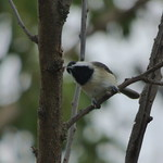 Carolina Chickadee, September 18, 2017 thumbnail