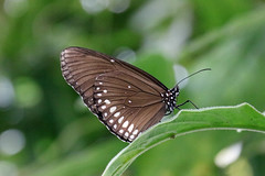 (Wosog) Tags: butterfly arthropods insects minibeasts july 2017