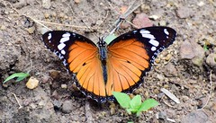 Danaid Eggfly (sreejithkallethu) Tags: danaideggfly danaideggflyfemale hypolimnasmisippus neeravil butterfliesofneeravil kollam kerala