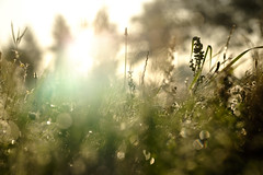 Catching the morning sun (Wouter de Bruijn) Tags: fujifilm xt1 fujinonxf90mmf2rlmwr sunrise morning dawn light bright bokeh autumn fall autumnal field meadow flowers plants flora nature spider web spiderweb cobweb depthoffield vrouwenpolder walcheren zeeland nederland netherlands holland dutch