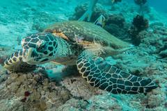 Tartaruga verde. Green Turtle. (Chelonia Mydas). (omar.flumignan) Tags: turtle greenturtle cheloniamydas cruise crociera mysachika fishhead arinord northari atollo atoll maldive maldives holiday vacanza dive immersione mare sea underwather canon g7xmk2 fantasea fg7xmk2 ikelite ds51
