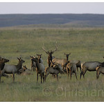 bull elk with many cows and fawns thumbnail