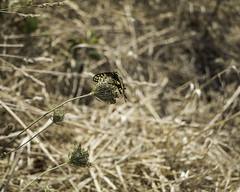 Just taking a break (aerojad) Tags: eos canon 80d dslr 2017 summer outdoors oregon roadtrip 101 hwy101 highway101 vacation travel wanderlust landscape westcoast bestcoast pnw pacificnorthwest otterrock capefoulweather grass grasses butterfly butterflies fauna