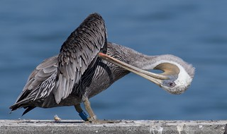 Pier 39 Brown Pelican