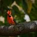 Northern Red Cardinal (pres999) Tags: pres999 nikon d500 200500mm56g hawaii