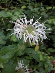 Monarda clinopodia (tiger.ben94) Tags: lamiaceae monarda monardaclinopodia bergamot whitebergamot
