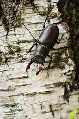 Descente / Climbing down (totoro_59fr) Tags: coléoptère insecte lucanecerfvolant lucanuscervus macro