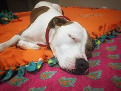 Dear Zozo is so so tired because she was up with mommy and Daddy as they replaced the hot water heater until the wee hours of the morning. (queenbee2zz) Tags: pitbullmix rescueddog zoe