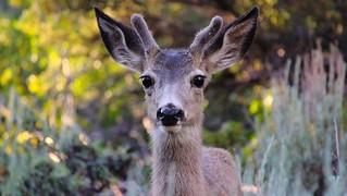 Big Eyes Little Antlers