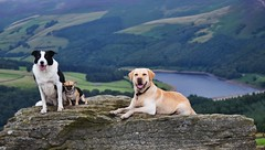 Pooches big day out (lisheeny) Tags: labrador chihuahua border collie dog dogs pet canine win hill derbyshire peak district landscape animals littledoglaughedstories