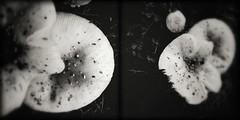 Valley Brook-11166 (Poetic Medium) Tags: nature moldiv mushrooms blackandwhite snapseed ipod diptych