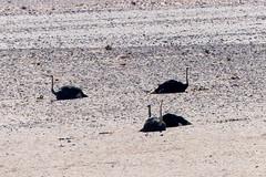 P1030030 (Seb_Jan) Tags: namibie namibia afrique africa afrika summer 2017 road trip roadtrip travel adventure holiday nature explore lumix wildlife safari picoftheday photooftheday dune desert naukluft namib autruche aus ostrich