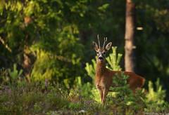 Roe Deer buck (Fredrik Stige/Wildlife Photography) Tags: roedeer nature mammal animal antler deer rådyr norway summer wildlife buck